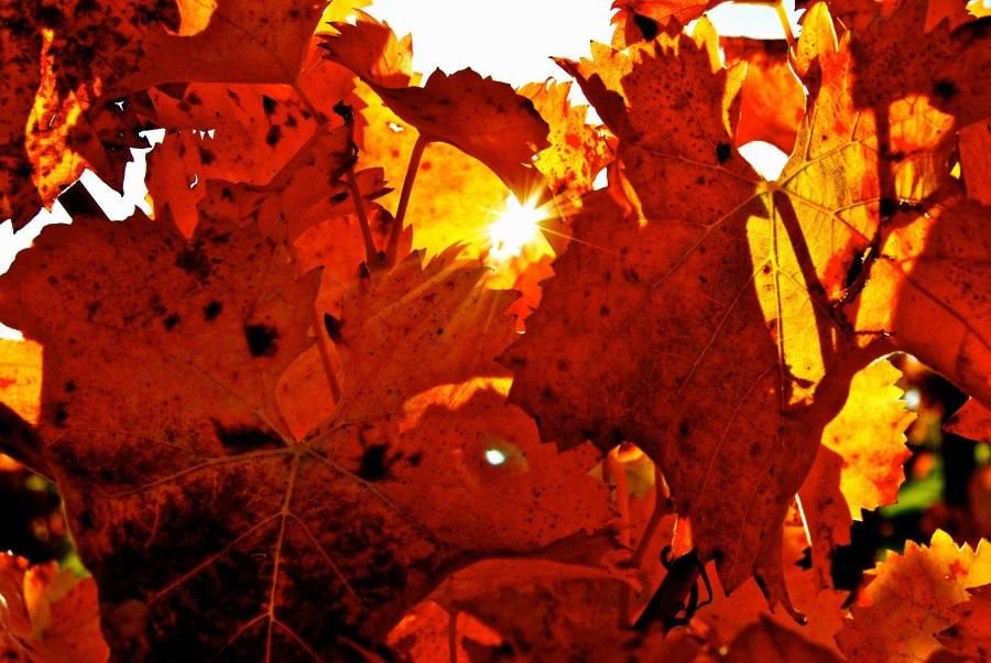 Crimson Sagarantino Leaves