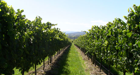 Ben Haines Vineyard