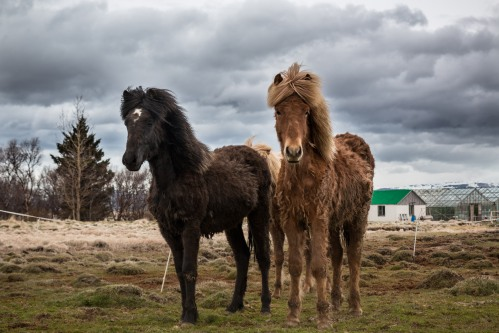 Icelandic horses are everywhere.