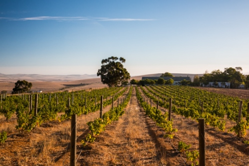 Mullineux Vineyards in Swartland