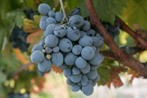 Turkish Grapes