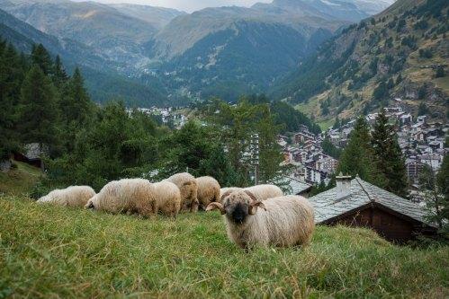 ZermattGrazingSheep